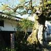 樹齢400年のむくの木、父の盆栽