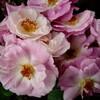 2009【無農薬でバラ栽培】国バラからお持ち帰り♪