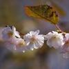 里山と十月桜