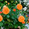 オレンジのバラ ビブレバカンス!