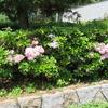 カルミアの花が見頃です