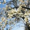 3月の草花の歳時記:モクレンの並木道@高知市