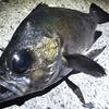 2020年に釣った魚たちを振り返ってみた。出会った魚たちもいろいろだけど、釣り方も様々だった ⇒ 2021年は本格的にベイトタックルを海釣りに使う?