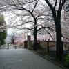 今年の桜見