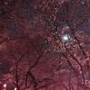 4/8 夜桜見物