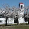 まほろばの桜と芝桜