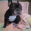 犬の椎間板ヘルニアにおける、鍼灸治療という選択肢。