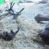 上野公園4  寝ているシャンシャンより起きているリキ!?