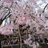 【お花見のお供にも ♪】春に聞きたい名曲!おすすめ桜ソング・厳選22選!