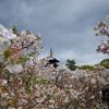 京都旅行記-1日目 仁和寺でお花見をする