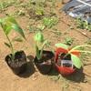 色々植えて、色々収穫。
