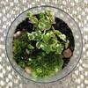 山苔とプミラの苔鉢-4