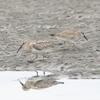 三番瀬の野鳥たち コオバシギ・オバシギ