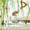 調整池のオジロトウネン