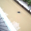 ギョッ!日本の用水路にワニがいる??