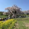 「戦争の時も咲いていた」  三春  滝桜