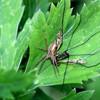クサグモの獲物