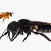 """【40年ぶりに再発見された世界最大のハチ】翼幅6cm超の「ウォレス・ジャイアント・ビー」から""""種""""の保全を考える"""