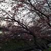 2月20日夕方見た梅と河津桜