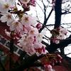 日本の花🌸桜(Cherry Blossom)を英語で説明してみよう!