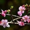 河津桜🌸とツグミ・メジロ