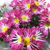 スーパービバホーム花が安い♪菊の鉢植えを買ってきました(^^)/