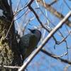 太白山(仙台市)で、充実した野鳥観察&アオゲラを撮影。 1/27、その2