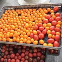 トマト嫌いの子供が好きになる!?話題の安心無農薬トマトが絶品過ぎた♡