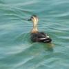 海には若鳥と砂利船?