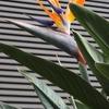 ストレリチアの花^^ 2016