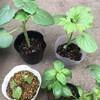苗 ゲットと定植。食用ファーストトマトの種まく