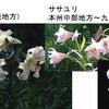 日本はユリの王国! 15種のユリが自生.その内,次の8種は日本固有種で,現代の主要な園芸品種の多くがその血を引いています.聖母マリアのシンボル白ユリも,今では日本のテッポウユリ. 百合 / 万葉集 あぶら火の,光に見ゆる,我が蔓(かづら),さ百合の花の,笑(え)まはしきかも 大伴家持