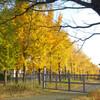 落葉は黄色いひらひらイチョウ