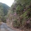 山道はツツジが綺麗
