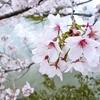 奈良の都をぶらり旅。吉野の桜と東大寺