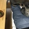 夫のおしりで暖を取る猫