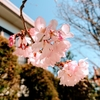 社内行事というものに憧れて桜の季節なのでお花見を行いました!