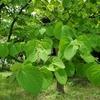 彫刻材の桂(カツラ)はハートの葉