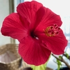 「一日花」のハイビスカス・・・ブログ5年目に突入してた