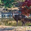 🦌私は奈良派。みたく鹿を撮って見たかった編