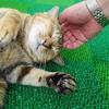 9月後半の #ねこ #cat #猫 どらやきちゃんB