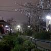遅咲きの桜 3