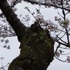 金沢の桜は満開「桜の木に松」