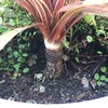 #10 コルジリネとワイヤープランツ コルジリネの茎