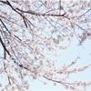 桜があちこちで