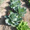 アブラナ科野菜の成長
