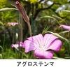 アグロステンマ(麦仙翁) 名前の由来は,アグロ:野原 + ステンマ:花冠  というギリシャ語.英語では corn cockle.「穀類の間に生える雑草」 ガーデニング好きにとっては手間いらずで見栄えがよく,日当たりがよければ何処でも育つ.種を取っておいてまけば毎年楽しめます. 早咲きのナデシコも咲き始めましたが---早くも大敵クロウリハムシが!