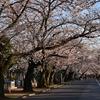 🌸谷中霊園で満開近い桜を見てきました!