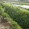 草刈り マルチ農法 Mowing