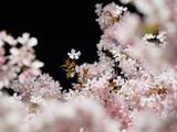 北海道大学構内で夜桜を撮影してきました
